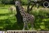 隐藏动物之长颈鹿